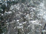 Conifers in Snow 002