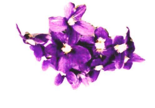 Violets # 2